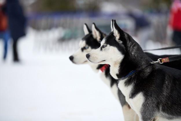 Greenland Dogs